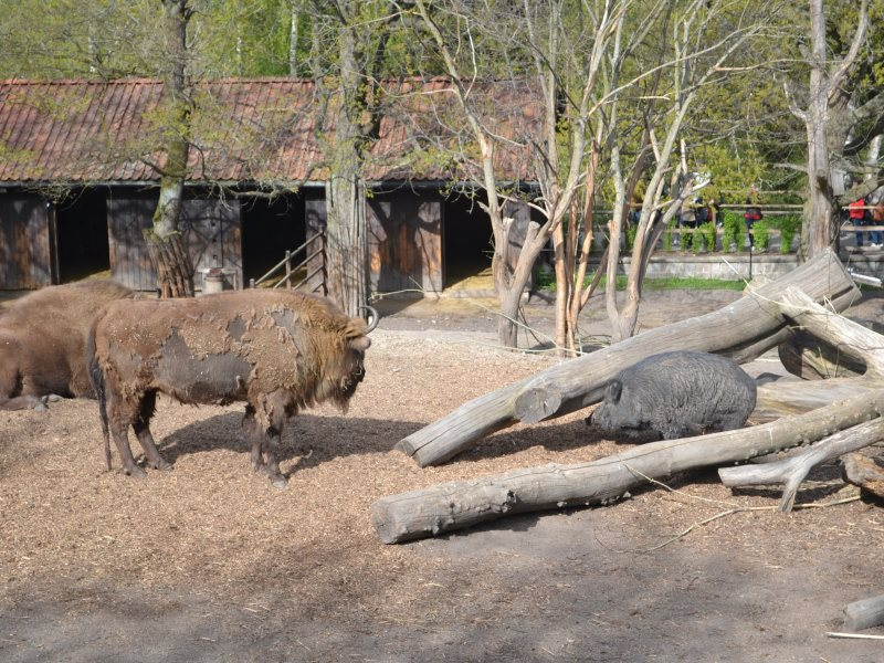 буйвол и кабан