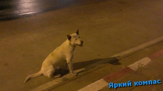 собака Таиланд